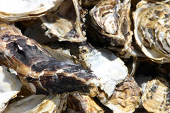 Oyster shell Royalty Free Stock Images