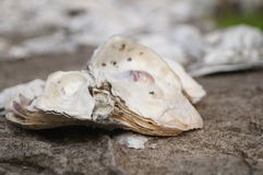 Oyster shell stone wall Stock Images
