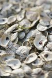 Oyster shells. stock image