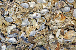 Oyster shells background Stock Photo