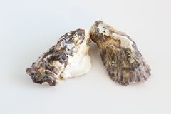 Oyster shells. On a blue background Stock Images
