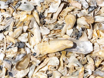 Oyster Shells. Eastern oyster shell bed Crassostrea virginica royalty free stock photos