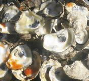 Oyster Shells and Hot Sauce Stock Images