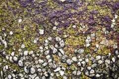 Oyster shells on rock Royalty Free Stock Images
