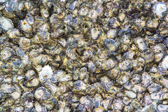 Oyster shells. On rock by the sea Stock Photos
