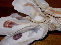 Oyster Shells Stuck Together Stock Image