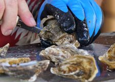 Oyster Shucking. Shucking fresh oysters from the beach Stock Images