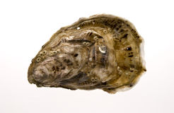 Oyster with white background Royalty Free Stock Photos