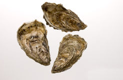 Oyster with white background Stock Photos