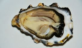 Oyster on white background royalty free stock photo