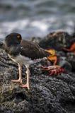 Oystercatcher Галапагос, острова Галапагос, Equador Стоковое Изображение RF