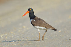Oystercatcher Royalty Free Stock Photos