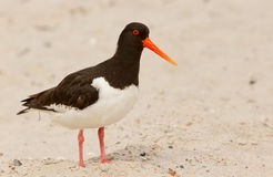 An oystercatcher. On the beach Royalty Free Stock Image