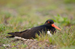 Oystercatcher Royalty Free Stock Photo