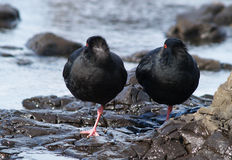 Oystercatcher. Two oystercatcher birds standing on rock shore of Curio Bay, New Zealand stock image