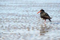 Oystercatcher Стоковые Фото