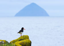 Oystercatcher and Ailsa Craig Stock Images