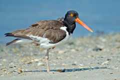 American Oystercatcher Stock Images
