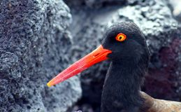 Oystercatcher americano nel Galapagos Immagine Stock