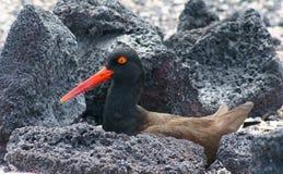 Oystercatcher americano nel Galapagos Fotografia Stock Libera da Diritti