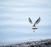 Oystercatcher Royalty Free Stock Images