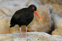 Oystercatcher Bird Stock Photos