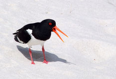Oystercatcher bird on beach Royalty Free Stock Photo