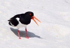 Oystercatcher bird on beach Royalty Free Stock Photo