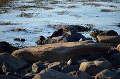 Oystercatcher bird on boulder Royalty Free Stock Photography