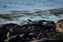 Oystercatcher bird on boulder near blue fjord sea shore. In the arctic circle wilderness Royalty Free Stock Photos
