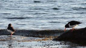 Oystercatcher birds on boulder near blue fjord sea shore stock video footage