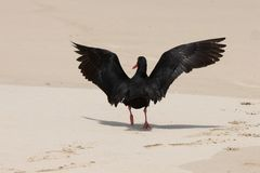 Oystercatcher Bird Landing Stock Photos