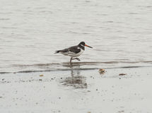 Oystercatcher bird wading on the beach Royalty Free Stock Images