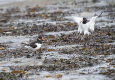 Oystercatcher bird wading on the beach Stock Photos