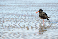 Oystercatcher. Catchers on sand in New Zealand stock photos