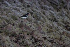 Oystercatcher on cliffs Stock Photography