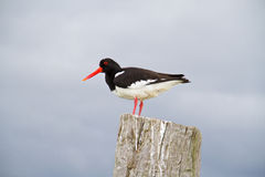 Oystercatcher Stock Photo