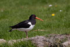 Oystercatcher in a field Stock Photo