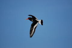 Oystercatcher in flight. Isolated in a blue sky background. Turning with left wing down clearly showing colouring pattern across its feathers. This wading bird Stock Photography