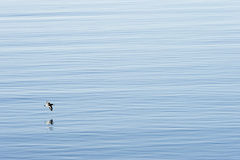 Oystercatcher In Flight Royalty Free Stock Images