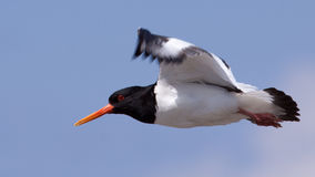 Oystercatcher flying Royalty Free Stock Image