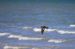 An oystercatcher flying over foamy ocean, Baja California, Mexico Stock Images