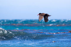 Oystercatcher Stock Images