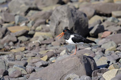 Oystercatcher, haematopus ostralegus Stock Photo