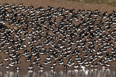 Oystercatcher, Haematopus ostralegus. Large flock at roost, Snettisham RSPB, Norfolk, March 2010 Stock Images