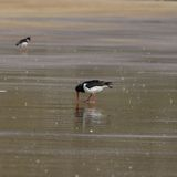 Oystercatcher (Haematopus ostralegus) Probing Sand with Beak. This image shows an oystercatcher probing in the sand with it's beak for food. There is another Stock Photos