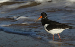 An Oystercatcher Haematopus ostralegus searching for food along the shoreline. Royalty Free Stock Photos