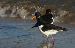 An Oystercatcher Haematopus ostralegus searching for food along the shoreline. Royalty Free Stock Photo