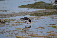 Oystercatcher in Kaikoura, New Zealand. I captured this Oyster-catcher while it was out looking for lunch. I love it's reflection in the shallow water Stock Photos