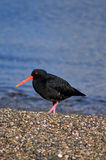 Oystercatcher. Looks for food on the beach royalty free stock photography